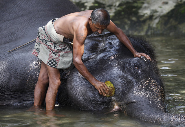 A mahout washes his elephant ahead of the annual Perahera (street parade) of Rajamha viharaya temple, in Colombo September 5, 2012. (Photo by Dinuka Liyanawatte/Reuters)