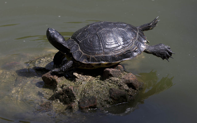 A turtle basks in the sun while balanced on a rock in a pond in the Retiro park in Madrid, Spain, Thursday, July 17, 2014. Madrid and other provinces in the Iberian peninsular are currently suffering from a heatwave with temperatures close to 40 degrees Celsius (104 degrees Fahrenheit). Madrid's City Hall have advised people to stay indoors during the middle  of the day when the intense heat is at it's maximum. (Photo by Paul White/AP Photo)