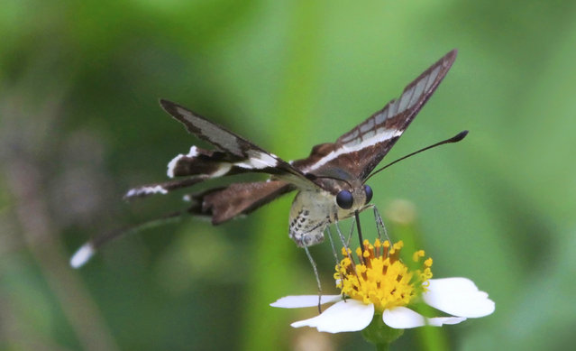 The White Dragontail (Lamproptera curius)