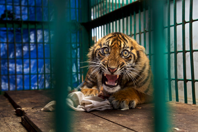 Saved but caged by Steve Winter (US). The back leg of this Sumatran tiger cub was so badly mangled by a snare it had to be amputated. He was trapped for four days before being discovered in a rainforest on the Indonesian island of Sumatra. It is likely the snare was set by oil-palm plantation workers. Finalist 2017, The Wildlife Photojournalist Award: Single Image. (Photo by  Steve Winter/2017 Wildlife Photographer of the Year)
