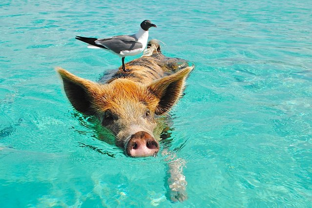 "The Bahamas, the Commonwealth nation of hundreds of islands roughly the size of Connecticut and with population of just a bit over Anaheim, is known for its crystal waters and pristine beaches. This is possibly one of the world's most beautiful havens of nature, yet people are coming here to see pigs. Here: ""Hey, gull, I'm not a ferry! Ok, maybe I am"". (Photo and caption by Lisa Larsen/Petr Svab via The Epoch Times/Public Domain)"