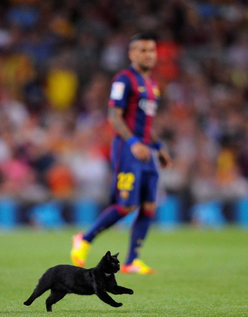 A cat runs on the pitch during a Spanish La Liga soccer match between FC Barcelona and Elche at the Camp Nou stadium in Barcelona, Spain, Sunday, August 24, 2014. (Photo by Manu Fernandez/AP Photo)