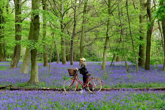A woman with a bicycle is seen by bluebells in Epping Forest, Wanstead, as the spread of the coronavirus disease (COVID-19) continues, London, Britain, April 18, 2020. (Photo by Toby Melville/Reuters)