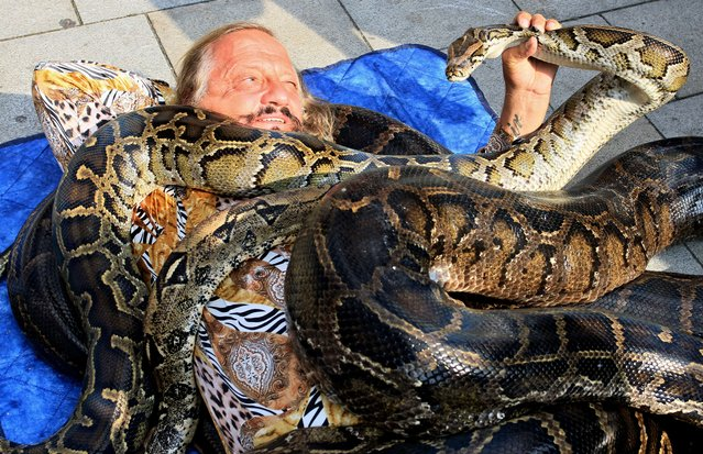 Circus director Jaromir Joo lays under some snakes during a record attempt on September 9, 2014 on St James Square in Brno, Czech Republic. Three boa constrictors and two pythons, each of them having a length of around five meters and weighing together more than 500 kilograms, were laid on Joo, director of the Jo-Joo Circus. (Photo by Radek Mica/AFP Photo)