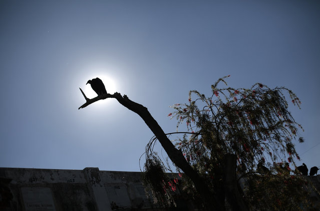 A vulture sits on a tree at the Cemetery General in Guatemala City January 29, 2013. (Photo by Jorge Dan Lopez/Reuters)