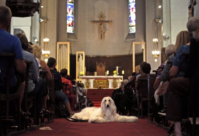Owners and their pets attend a mass at the Saint Pierre D'Arene church to honour the feast of Saint Francis of Assisi in Nice, southeastern France, October 5, 2014. Saint Francis of Assisi is the patron saint of animals and the environment. (Photo by Eric Gaillard/Reuters)
