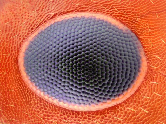 Ant Eye; Reflected Light, 20X. Greenwich, Connecticut, USA. (Photo by Noah Fram-Schwartz/Nikon Small World 2014)