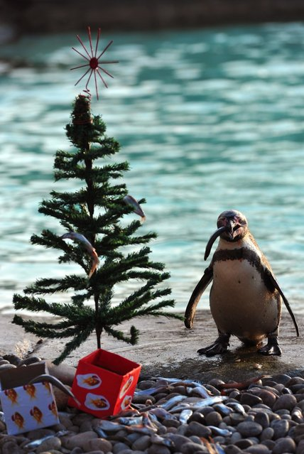 A penguin eats a fish next to a Christmas tree at the London Zoo in England on December 12, 2012. (Photo by Carl Court/AFP Photo)