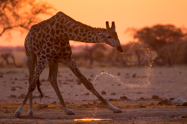 """Giraffe Spray"". I have dreamed of capturing this image of a giraffe at sunset, drinking with the resultant spray as it lifts its head to check for predators. On my last night in Botswana I finally got the opportunity. Photo location: Nxai Pan National Park, Botswana. (Photo and caption by Donald Gutoski/National Geographic Photo Contest)"