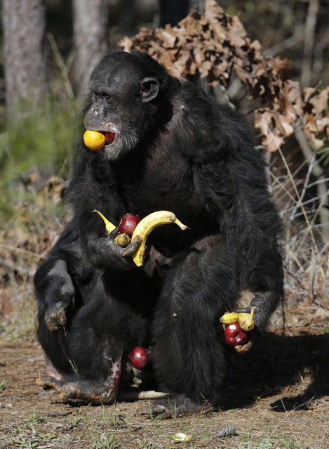 A chimp gathers food at Chimp Haven in Keithville, La., Tuesday, February 19, 2013. One hundred and eleven chimpanzees will be coming from a south Louisiana laboratory to Chimp Haven, the national sanctuary for chimpanzees retired from federal research. (AP Photo/Gerald Herbert)