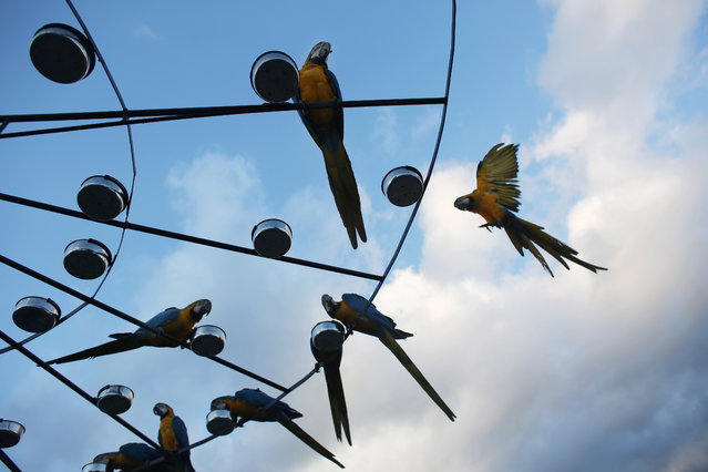 Macaws feed perched on a circular platform with 58 feeder bowls on the roof of an apartment building in Caracas, Venezuela. The city of around 6 million people does not seem welcoming for exotic birds. But the macaws supplement the food they forage with snacks bird lovers leave for them. (Photo by Ariana Cubillos/AP Photo)