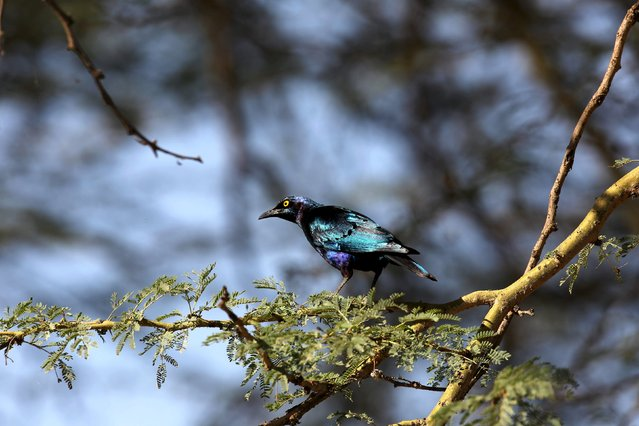 A glossy starling stands on a tree branch in Lake Nakuru National Park, Kenya, August 20, 2015. (Photo by Joe Penney/Reuters)