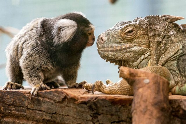 A common marmoset has a close encounter with a green iguana at the Zoo in Straubing, Germany, on March 25, 2013. (Photo by Armin Weigel/EPA)