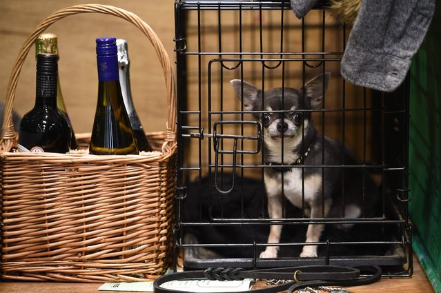 A Chihuahua sits in its cage on the first day of the Crufts dog show at the National Exhibition Centre in Birmingham, central England, on March 8, 2018. (Photo by Oli Scarff/AFP Photo)