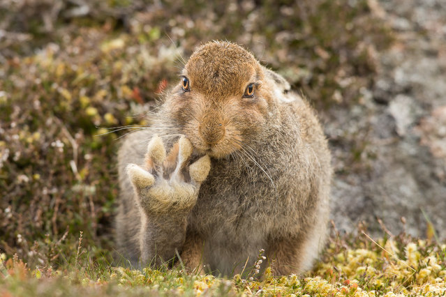 Photographer Andy Howard spent over 5 hours with a friendly mountain hare which appears to raise its paw to say hello, Cairngorms, Scotland. (Photo by Andy Howard/Barcroft Images/Comedy Wildlife Photography Awards 2016)