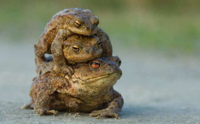 A photographer in Somerset captured the mating rituals of toads as several males attempt to mate with one female all at once. (Photo by John Waters/NPL)
