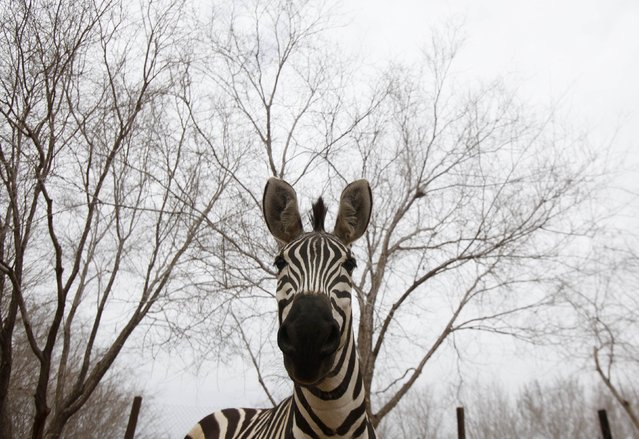 A Burchell's zebra looks into the camera at the zoo in the Valley of Juarez January 29, 2015. (Photo by Jose Luis Gonzalez/Reuters)