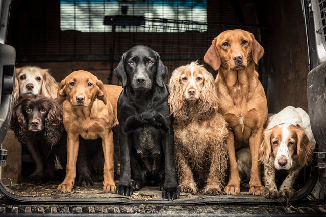 First place, Dogs at Work. A group shot of spaniels and retrievers after a hard day's work, by Tracy Kidd from the UK. (Photo by Tracy Kidd/Dog Photographer of the Year 2018)
