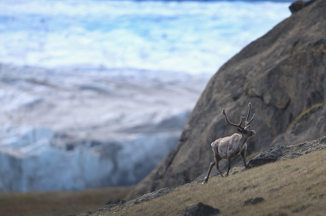 A caribou walks in the foreground of a glacier, on July 12, 2013 in Kangerlussuaq, Greenland. (Photo by Joe Raedle/Getty Images via The Atlantic)