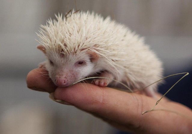 A visitor holds an albino hedgehog in a private Zoo in Moscow, Russia, Thursday, August 22, 2013. Three rare albino hedgehog babies, born on the same day as Britain's new prince, have moved into a miniature castle at a Moscow petting zoo. The three are named after the Prince of Cambridge – George, Alexander and Louis. On Thursday, when they turned one month old, they were shown their new home at the All-Russia Exhibition Center. (Photo by Alexander Zemlianichenko Jr./AP Photo)