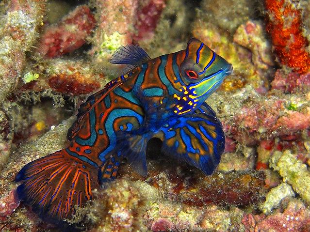 Mandarinfish. (Photo by David M. Hogan)