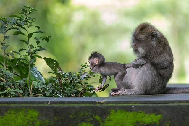 This baby monkey has it's tail pulled by it's mother while stretching to reach some berries on a bush. The curious youngster is only a few months old, but is already giving it's parents the run around. It was sitting with its mother on a pathway of the Sacred Monkey Forest Sanctuary in Ubud, Bali, Indonesia where there are a number of wild monkeys living in the forest and temples at this important hindu site. (Photo by Julia Wimmerlin/Solent News)