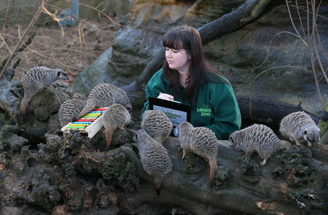 A keeper records the number of meerkats during ZSL London Zoo's annual stocktake of animals on January 2, 2014 in London, England. (Photo by Oli Scarff/Getty Images)
