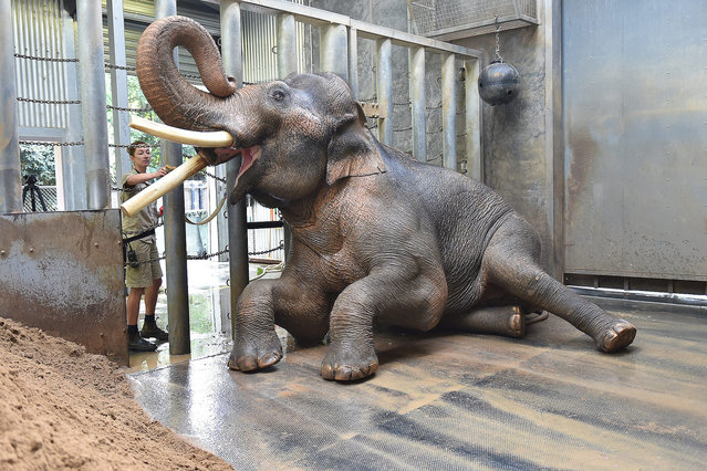 Zoo keeper Lucy Truelson washes Bong Su's tusk, an Asian elephant bull, in his enclosure at the Melbourne Zoo in Melbourne, Australia, 03 March 2016. (Photo by Tracey Nearmy/EPA)