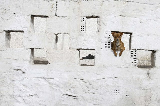 A dog looks out of an opening in the whitewashed wall of a house in the Perama area on the fringes of Athens' port of Piraeus, on February 7, 2014. (Photo by Thanassis Stavrakis/Associated Press)