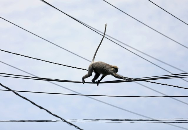 A monkey walks on main power lines on a main road in Colombo, Sri Lanka March 29, 2016. (Photo by Dinuka Liyanawatte/Reuters)