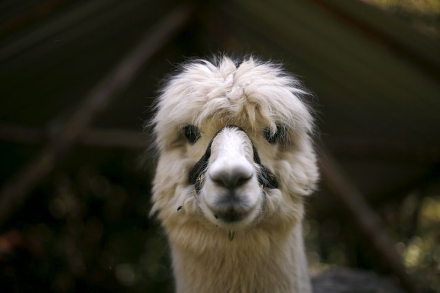 An alpaca of Lisa Vella-Gatt, 46, is pictured at her farm near Benfeita, Portugal May 11, 2015. (Photo by Rafael Marchante/Reuters)