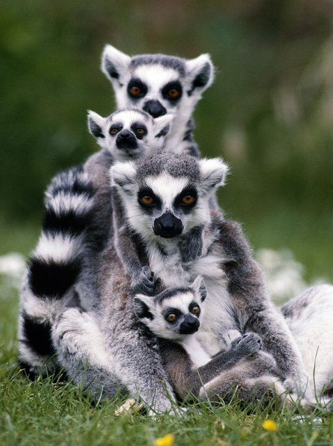 A Ring-Tailed lemur is overrun with little ones in Madagascar. (Photo by John Daniels/Ardea Wildlife Pets Environment/Caters News)
