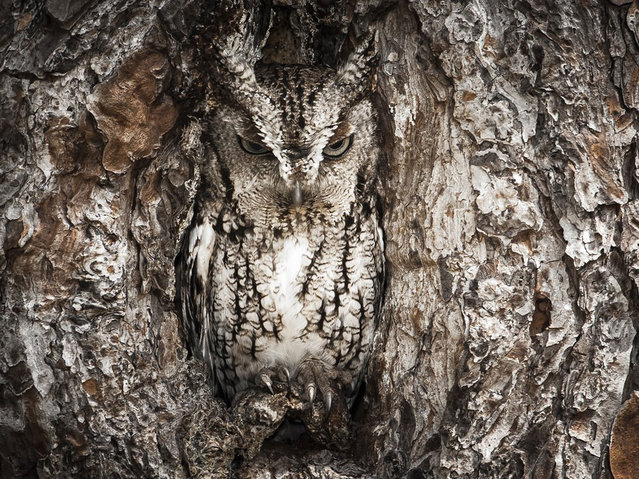 McGeorge spent a quiet 6 hours trying to get the perfect image of this eastern screech owl out of its nest. Okefenokee Swamp, Georgia. (Photo by Graham McGeorge/Smithsonian.com)