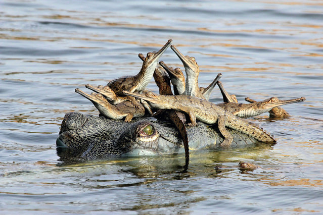 Mother's Little Headful, Chambal River, India. A female gharial hangs out in the water while her babies use her head as a basking perch. She is one of a colony of gharials that have nested at this riverbank site. The mothers keep watch from the river, with the female acting as chief guard for 100 or so hatchlings. Adults will protect the young for at least a month until the monsoon rains arrive and they move down river to feed in deeper water. Gharials are under pressure from illegal sand‑mining in nesting areas, illegal fishing, egg collection and pollution. (Photo by Udayan Rao Pawar/Unforgettable Behaviour/NHM)