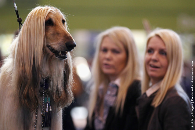 An Afghan Hound stands on a grooming table during the fourth and final day of Crufts at the Birmingham NEC Arena