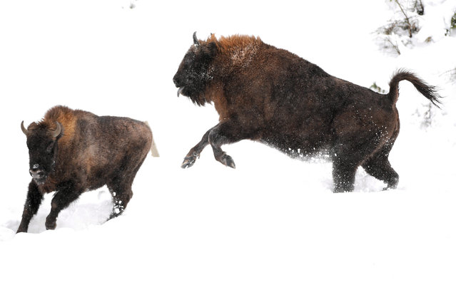 European bisons (also known as Wisent) at the Bison farm in Muczne, southeastern Poland, 30 December 2018. The Bison farm is a continuation of bison breeding in Bieszczady, which was started in 1963. Here visitors can admire the bison of Bialowieza-Caucasian line, also called the mountain race. The European Bison is the national animal of Poland. (Photo by Darek Delmanowicz/EPA/EFE)
