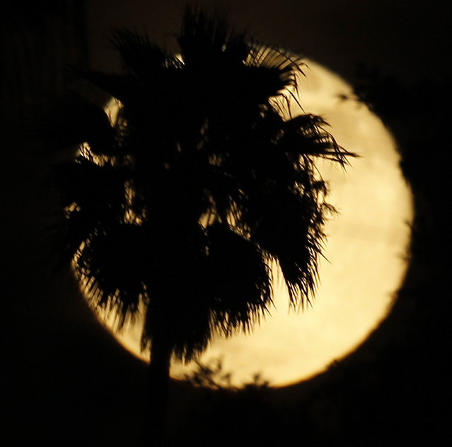 A palm tree is silhouetted against a supermoon in Whittier, Calif., Saturday, July 12, 2014. (Photo by Nick Ut/AP Photo)
