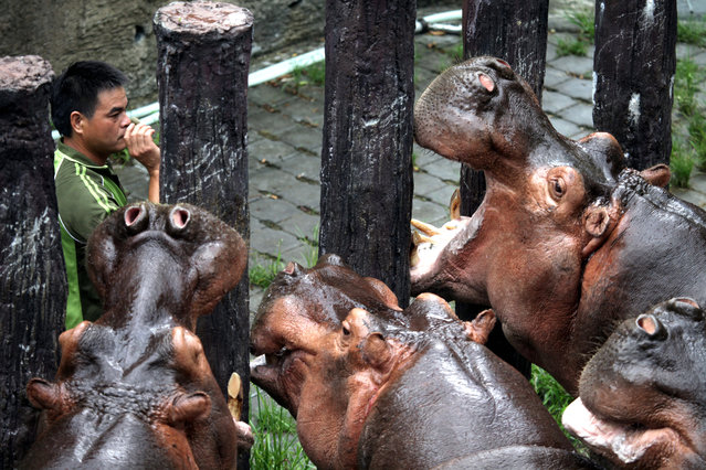 """A zoo keeper feeds a Hippopotamuses (hippopotamus amphibius) at the Taipei Zoo in Taipei, Taiwan,  July 12, 2014. Hippopotamus is an ancient Greek word for """"river horse"""". An average adult hippo's weight is 1.5 tons for male and 1.3 tons for female, making them the third-largest land mammal after elephant and rhinoceros. (Photo by David Chang/EPA)"""