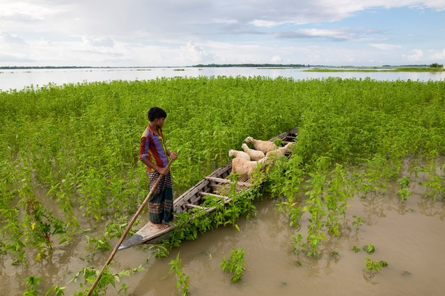 A boy feeding his sheep using boat in flood affected area on July 15, 2017 in Lalmonirhat, Bangladesh. Flooding sparked by heavy seasonal rains and onrush of water from hills across the Indian borders have affected parts of Bangladesh and left hundreds of thousands homeless. According to the Bangladesh Disaster Management Bureau around 1.5 million people have been affected by this year flood. Rivers in the north started to rise in early July and by the 20th of July nearly all of them started to flow over the danger level. It caused floods in 6 districts, namely, Lalmonirhat, Kurigram, Gaibandha, Jamalpur, Sirajganj and Sunamganj initially and inundated crop fields and dwelling areas, washed away standing crops, houses and households assets, livestock and displaced the affected people.Bangladesh is one of the most climate change-vulnerable and disaster-prone countries. The rivers of this country are facing tremendous environmental anomalies. They overflow during the rainy season but shrink in other seasons. Floods in Bangladesh are directly or indirectly related to sub-Himalayan countries like India, Bhutan, and Nepal. An understanding should be made to protect the eco-system in the regions to minimize the risks of flash floods, and to share the water resources as per international laws. (Photo by Zakir Chowdhury/Barcroft Images)