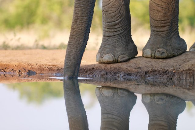 """""""Pedicurist Wanted"""". Claudia Levey, 18, of Bethesda, shot this image of an African elephant from inside a partially buried shipping container at a watering hole in Botswana's Mashatu Game Reserve in June. (Photo by Claudia Levey)"""