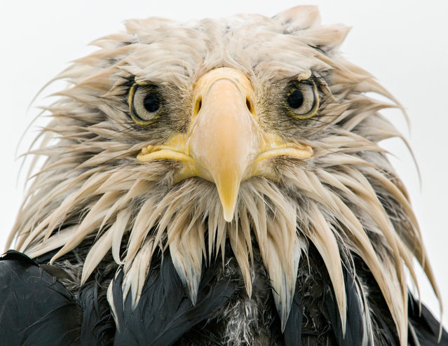 Bold eagle by Klaus Nigge (Germany). After several days of constant rain, the bald eagle was soaked to the skin. Full concentration on the eagle's expression created an intimate portrait, enhanced by the overcast light of the rainy day. Finalist 2017, Animal Portraits. (Photo by  Klaus Nigge/2017 Wildlife Photographer of the Year)