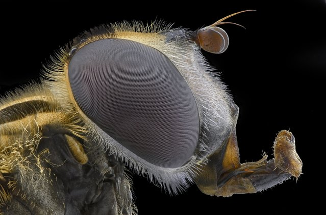 A close-up shot of a fly on August 2014, in Banten, Indonesia.  Wildlife photographer takes incredible close-up images of tiny bugs. Yudy Sauw has captured close-up images of creepy crawlies – revealing their disturbing faces. The insects have an assortment bulging eyes and sharp pincers and look grotesque in the face-to-face shots. The miniature-models include a soldier fly, a red ant and a longhorn beetle. (Photo by Yudy Sauw/Barcroft Media)