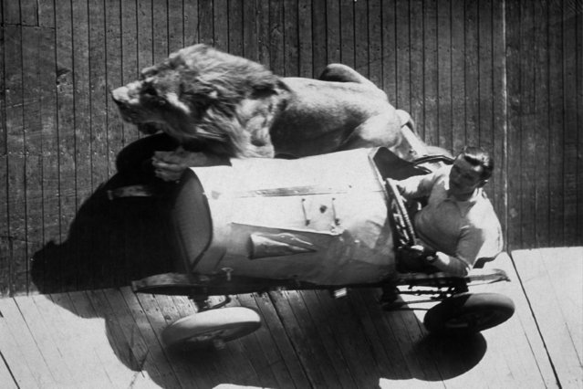 Mr.  Egbert  taking his five year-old lion for a ride on the wall of death at Mitcham fair, 1935.