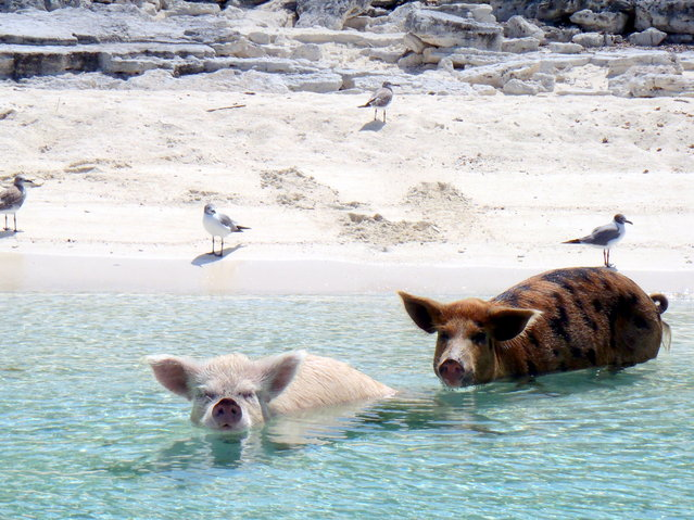 """What are you looking at? Never seen a seagull? ...riding a pig ...in a sea"". (Photo and caption by Lisa Larsen/Public Domain)"