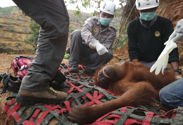 Local and government conservationists remove a rescued female orangutan who was found isolated in an palm oil plantation in Batang Serangan district, Langkat, North Sumatra province September 1, 2015 in this photo taken by Antara Foto. (Photo by Irsan Mulyadi/Reuters/Antara Foto)