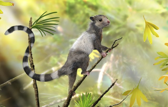 An illustrated reconstruction shows the new mammal species, Xianshou songae, in this American Museum of Natural History image released on September 10, 2014. This mouse-sized animal was a tree dweller in the Jurassic forests and belonged to an extinct group of Mesozoic mammals called Euharamiyida. Scientists announced on Wednesday the discovery in China of fossils belonging to three critters in a find that sheds light on a poorly understood collection of ancient mammals, and indicates that mammals as a group appeared earlier than some experts thought. (Photo by Zhao Chuang/Reuters/American Museum of Natural History)