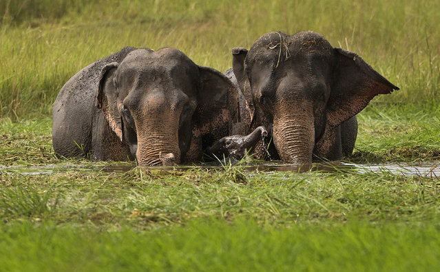 A baby elephant plays as a herd of wild elephants, from a nearby hill of India's northeastern Meghalaya state, eat grass in the wetlands of Telalia, on the outskirts of Gauhati, India, Tuesday, September 15, 2015. Due to the increasing human population and deforestation, the areas for the wildlife get reduced and encroached incidents of wild animals straying into cities is increasingly reported. (Photo by Anupam Nath/AP Photo)