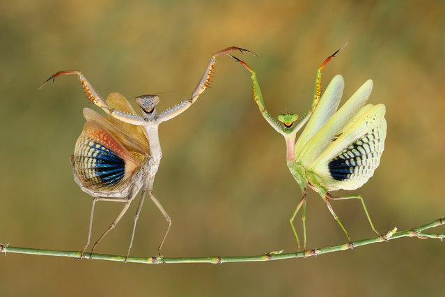 """Show Time"". It's a normal behavior of mantis. They're doing defence. When they're afraid of; raising their arms and spreading their wings. They looks like smiling dancer. Photo location: Nicosia, Cyprus. (Photo and caption by Hasan Baglar/National Geographic Photo Contest)"