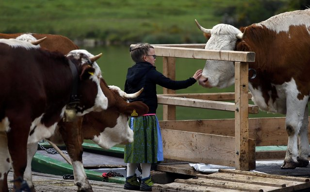 A Bavarian farmer girl stands with cows on a boat before they drive over the picturesque Lake Koenigssee, Germany, October 3, 2015. (Photo by Michael Dalder/Reuters)