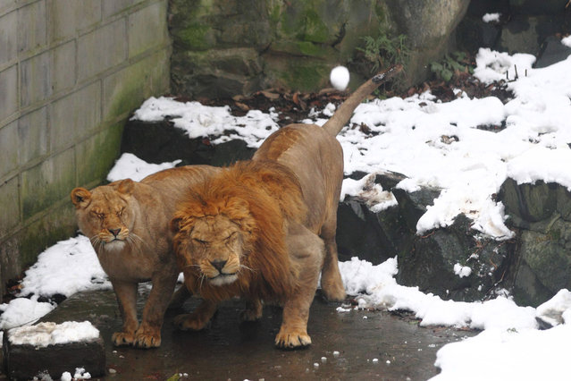 Lions in their enclosure react as tourists throw snowballs at them in the Hangzhou Zoo in Hangzhou, China, on January 6, 2013. (Photo by China Foto Press/ZUMAPRESS.com)